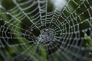 Spider web acting as a dew trap